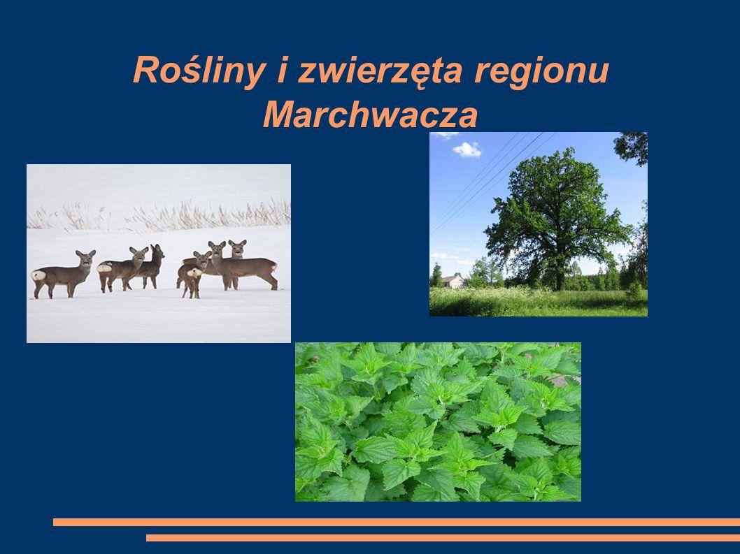 Rośliny i zwierzęta regionu Marchwacza