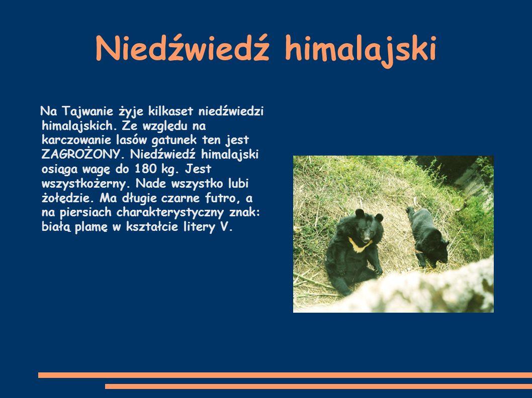 Niedźwiedź himalajski Na Tajwanie żyje kilkaset niedźwiedzi himalajskich.