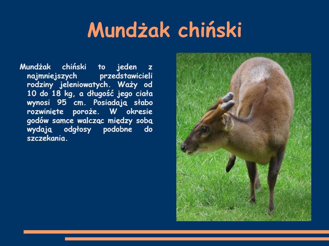 Mundżak chiński Mundżak chiński to jeden z najmniejszych przedstawicieli rodziny jeleniowatych.