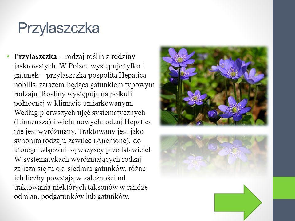Podkolan biały Podkolan biały - gatunek byliny należący do rodziny storczykowatych (Orchidaceae).