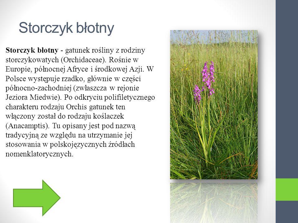 Skrzyp Olbrzymi Skrzyp olbrzymi - gatunek należący do rodziny skrzypowatych.