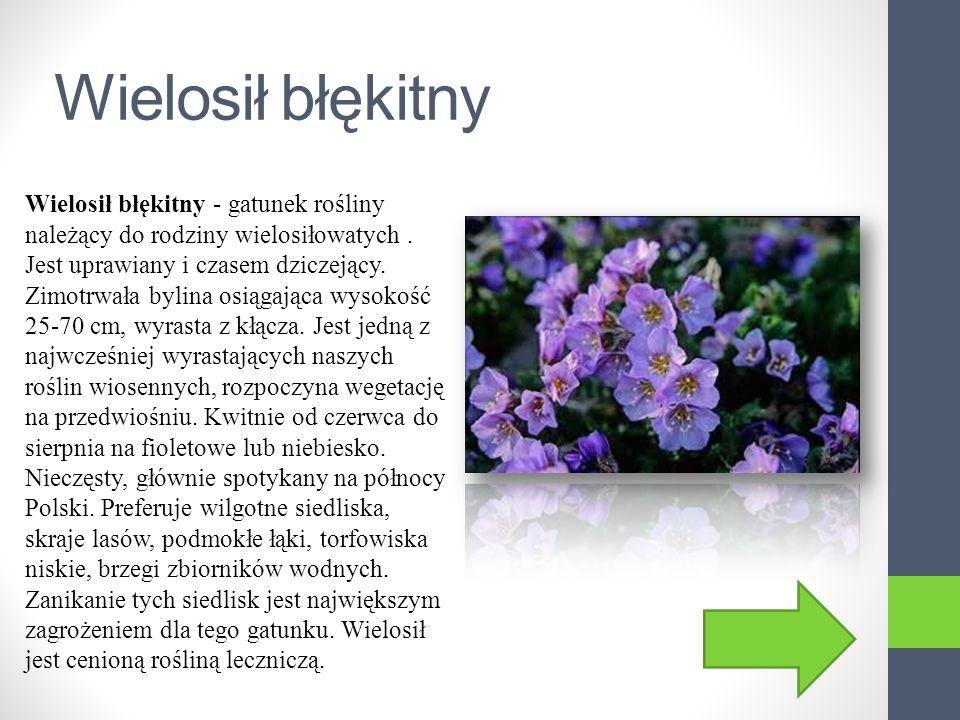 Storczyk błotny Storczyk błotny - gatunek rośliny z rodziny storczykowatych (Orchidaceae). Rośnie w Europie, północnej Afryce i środkowej Azji. W Pols