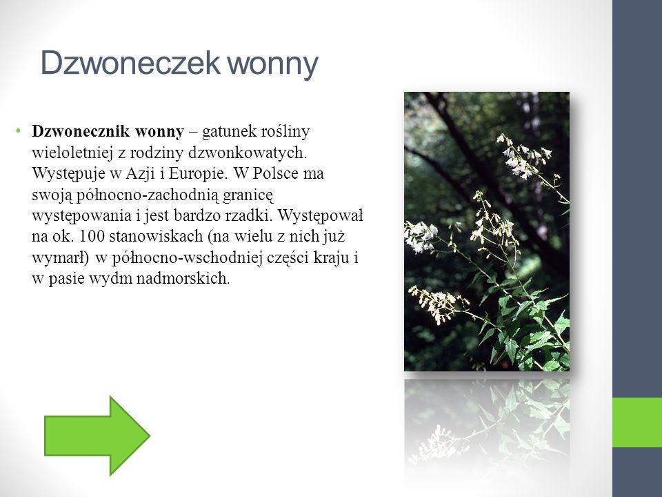 Storczyk błotny Storczyk błotny - gatunek rośliny z rodziny storczykowatych (Orchidaceae).