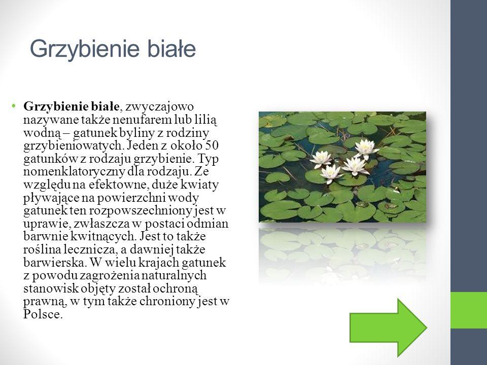 Grzybienie białe Grzybienie białe, zwyczajowo nazywane także nenufarem lub lilią wodną – gatunek byliny z rodziny grzybieniowatych.
