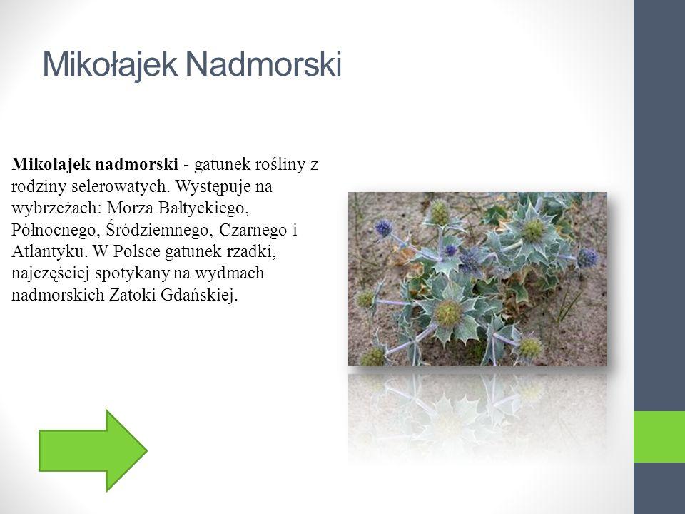 Mikołajek Nadmorski Mikołajek nadmorski - gatunek rośliny z rodziny selerowatych.