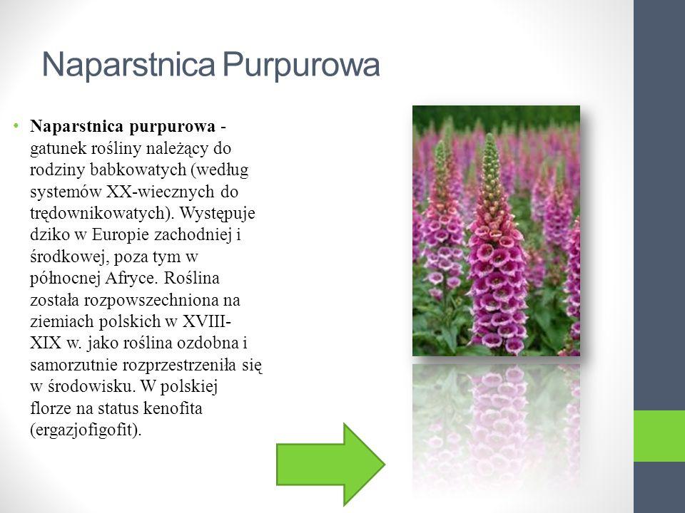 Naparstnica Purpurowa Naparstnica purpurowa - gatunek rośliny należący do rodziny babkowatych (według systemów XX-wiecznych do trędownikowatych).