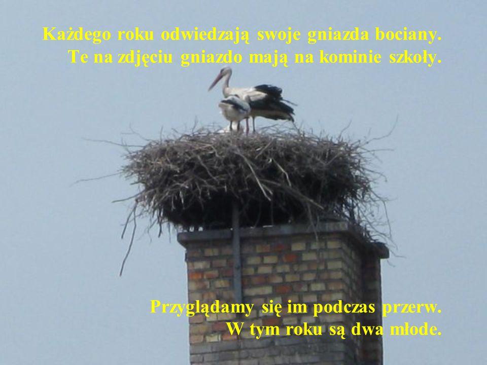 Każdego roku odwiedzają swoje gniazda bociany. Te na zdjęciu gniazdo mają na kominie szkoły.