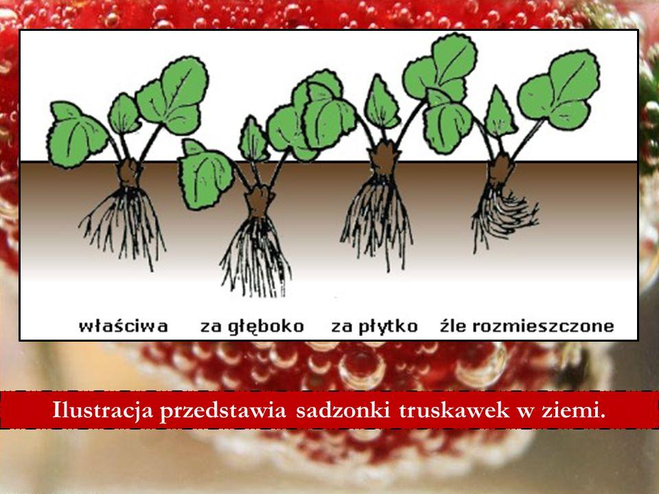 6/25/11 Ilustracja przedstawia sadzonki truskawek w ziemi.
