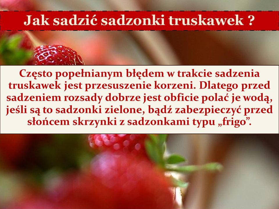 6/25/11 Jak sadzić sadzonki truskawek ? Często popełnianym błędem w trakcie sadzenia truskawek jest przesuszenie korzeni. Dlatego przed sadzeniem rozs