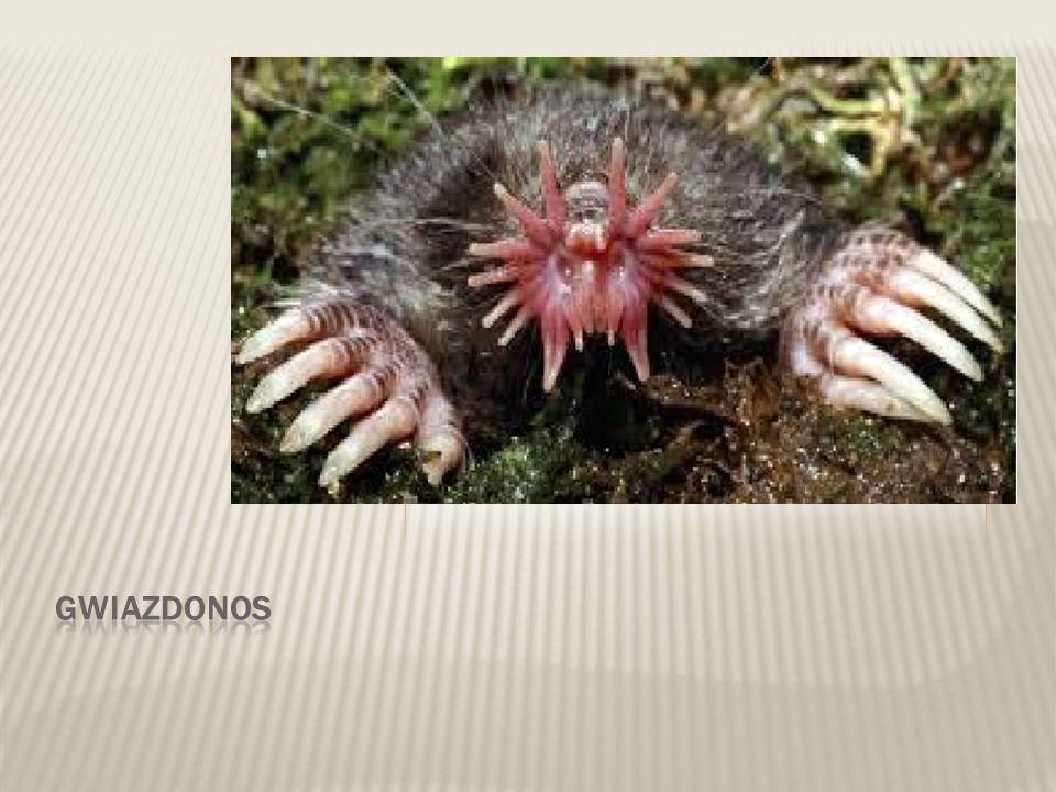  Występuje w Ameryce Północnej  Jego ryjek składa się z dwóch mięsistych czerwonych lub różowych ruchliwych wyrostków.