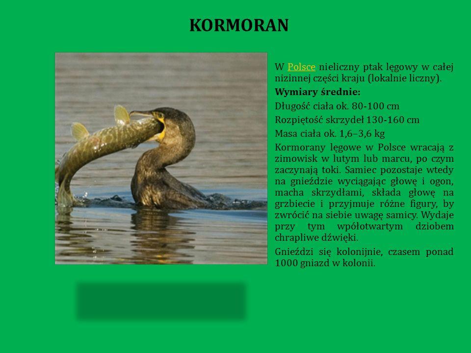 W Polsce nieliczny ptak lęgowy w całej nizinnej części kraju (lokalnie liczny).Polsce Wymiary średnie: Długość ciała ok.