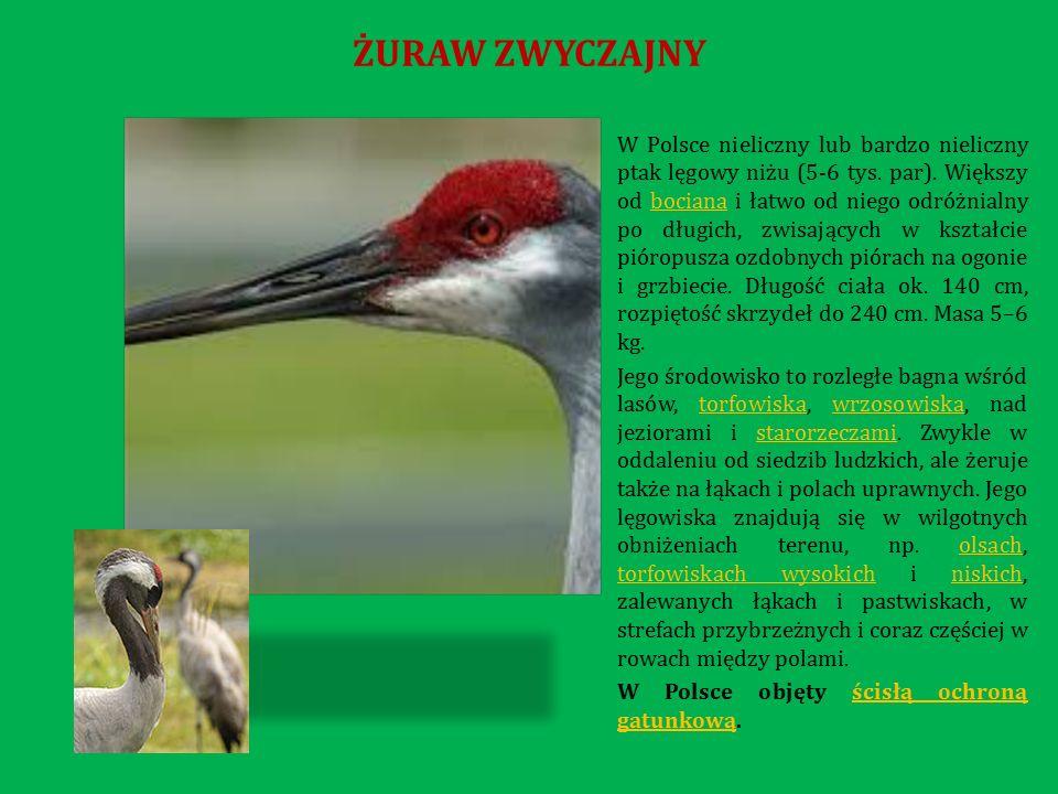 W Polsce nieliczny lub bardzo nieliczny ptak lęgowy niżu (5-6 tys.