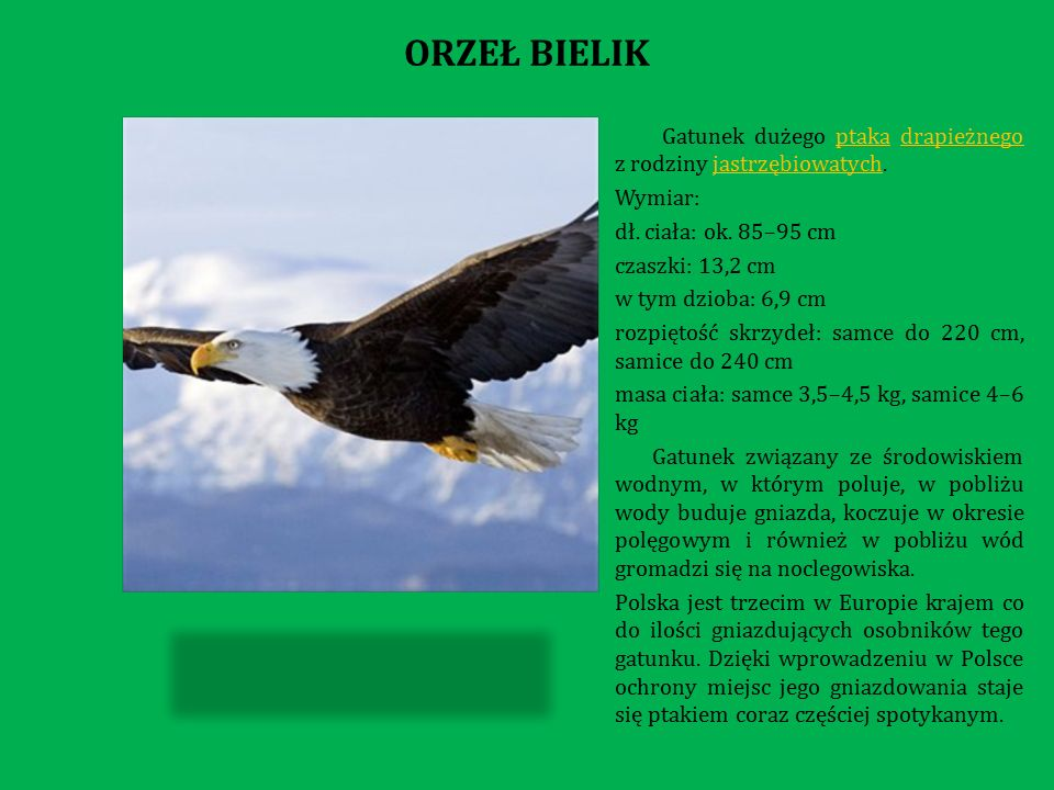 Gatunek dużego ptaka drapieżnego z rodziny jastrzębiowatych.ptakadrapieżnegojastrzębiowatych Wymiar: dł.