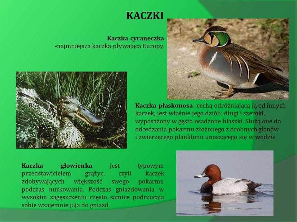 KACZKI Kaczka cyraneczka -najmniejsza kaczka pływająca Europy.