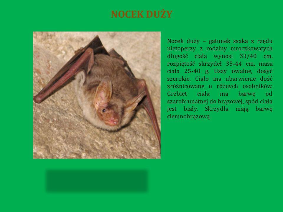 Nocek duży – gatunek ssaka z rzędu nietoperzy z rodziny mroczkowatych długość ciała wynosi 33/40 cm, rozpiętość skrzydeł 35-44 cm, masa ciała 25-40 g.