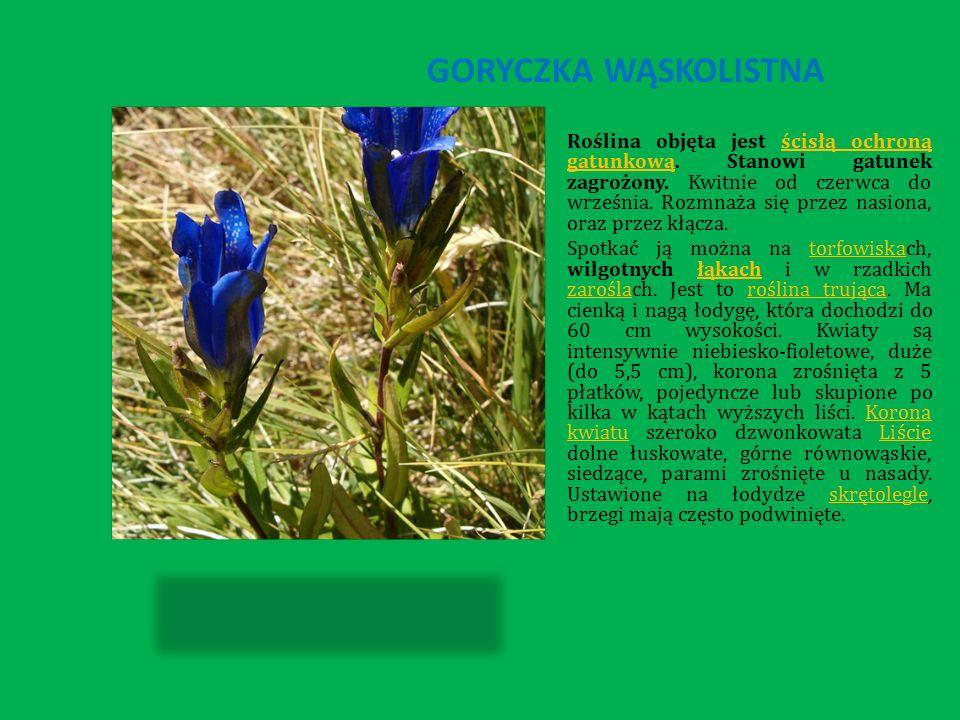 GORYCZKA WĄSKOLISTNA Roślina objęta jest ścisłą ochroną gatunkową.