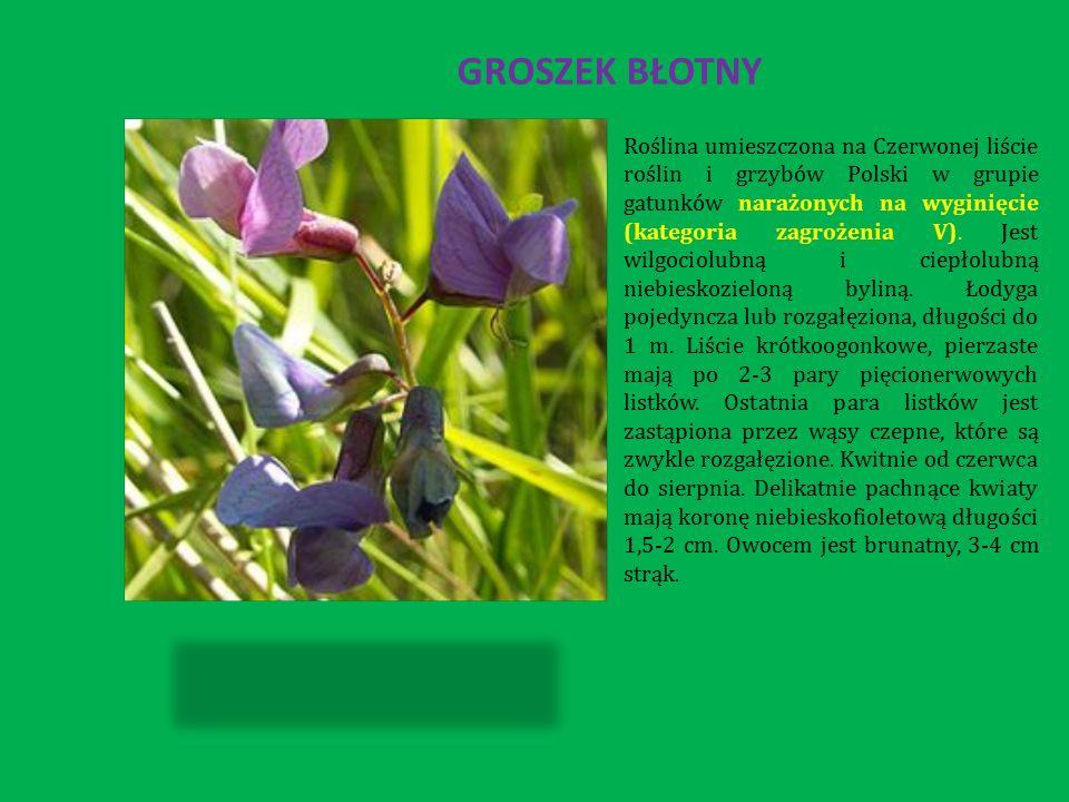 GROSZEK BŁOTNY Roślina umieszczona na Czerwonej liście roślin i grzybów Polski w grupie gatunków narażonych na wyginięcie (kategoria zagrożenia V).