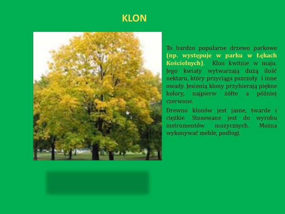 KLON To bardzo popularne drzewo parkowe (np. występuje w parku w Łękach Kościelnych).
