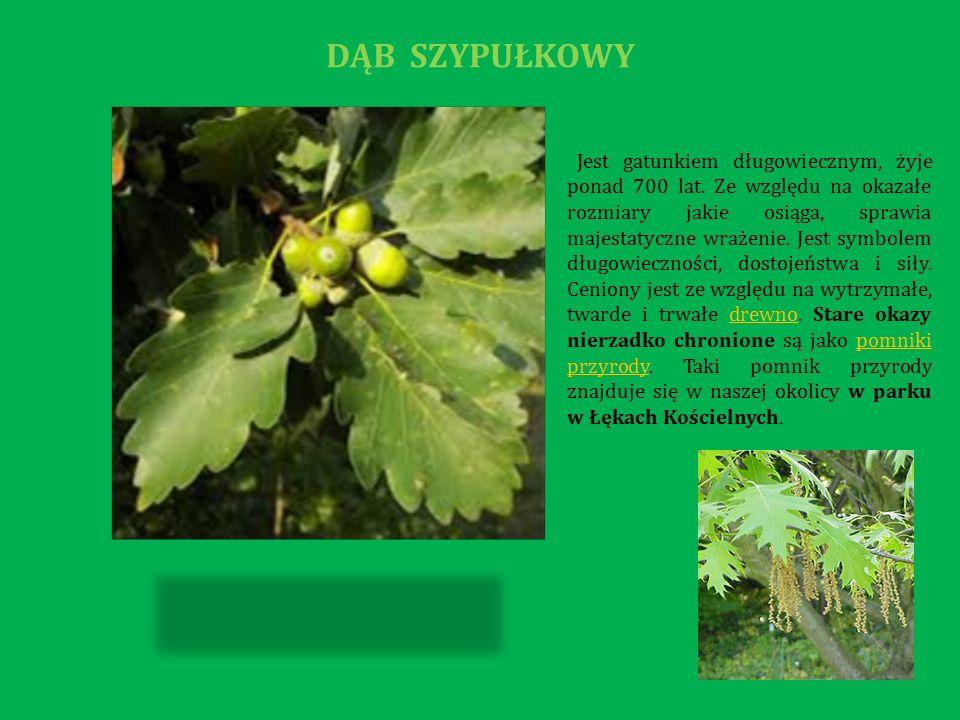 Bóbr europejski to gatunek ziemnowodnego gryzonia.