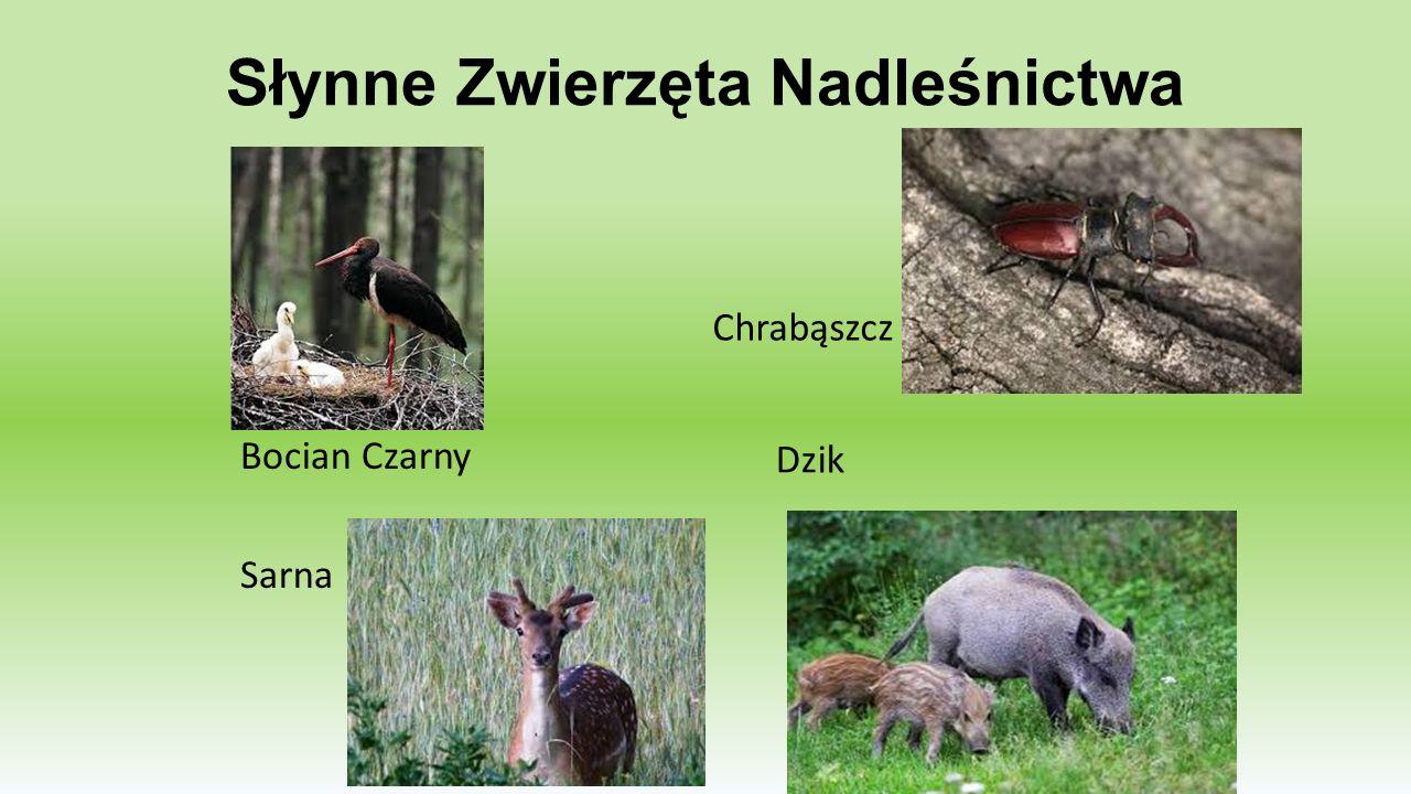 Słynne Zwierzęta Nadleśnictwa Dzik Bocian Czarny Sarna Chrabąszcz