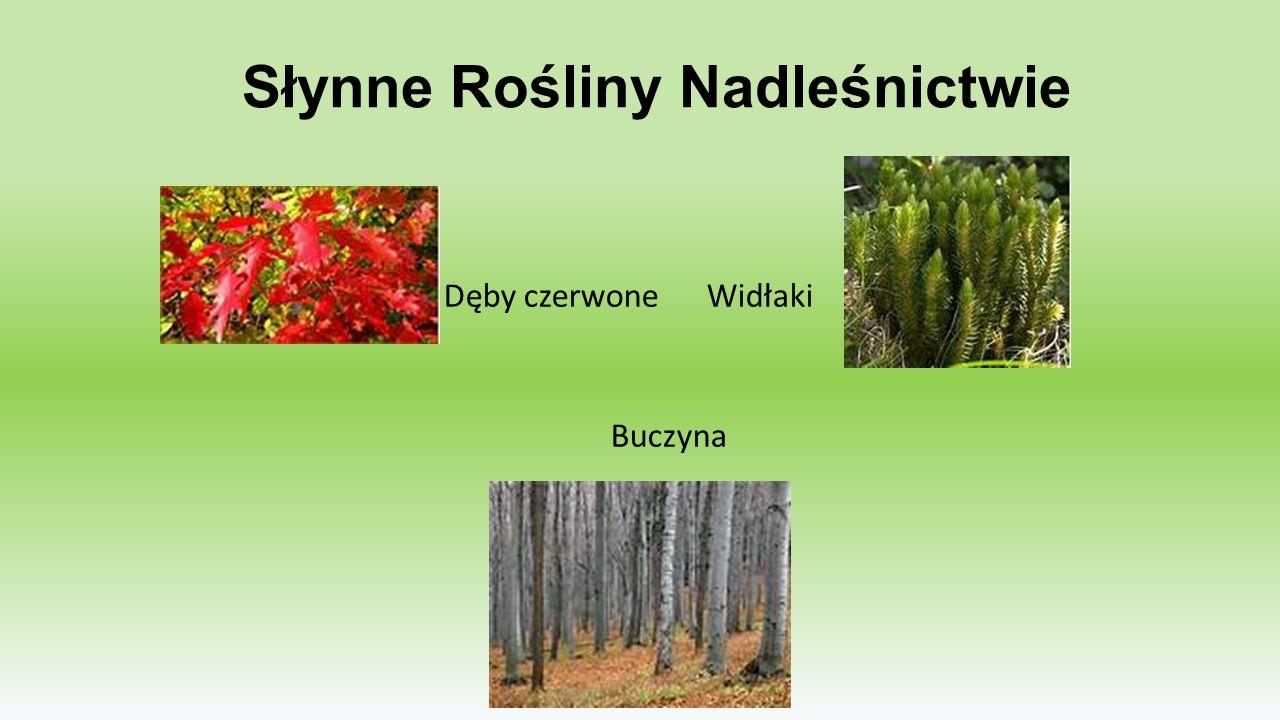 Słynne Rośliny Nadleśnictwie Dęby czerwone Widłaki Buczyna