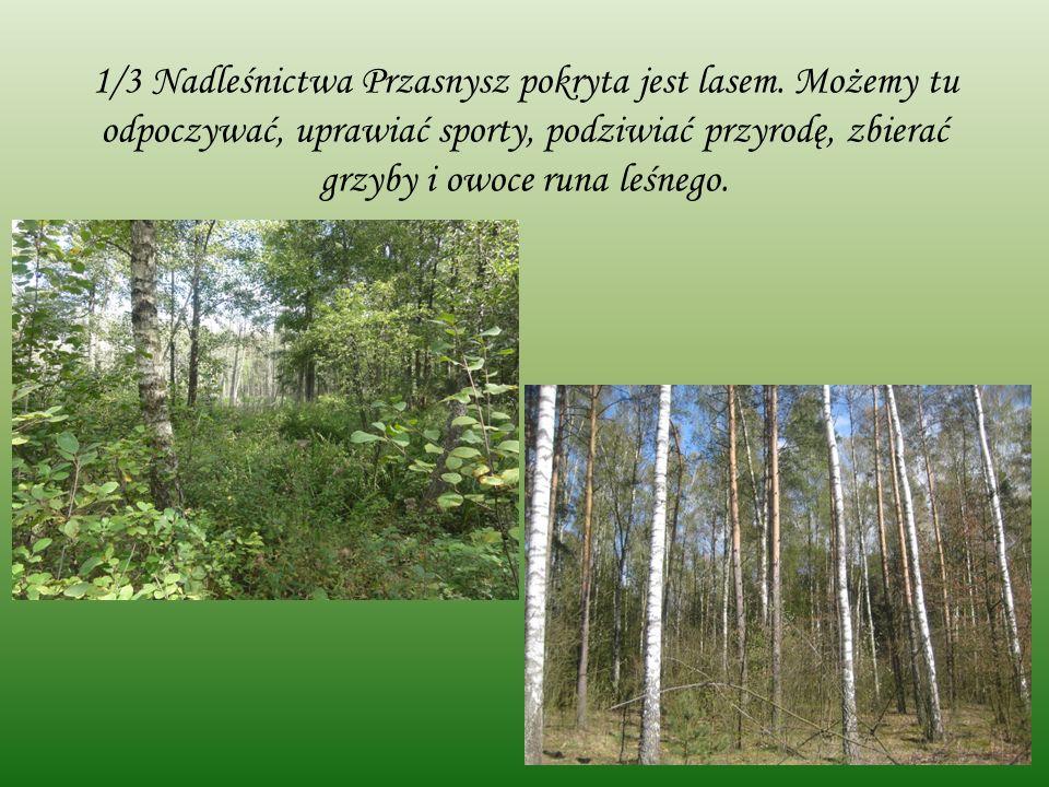 1/3 Nadleśnictwa Przasnysz pokryta jest lasem.