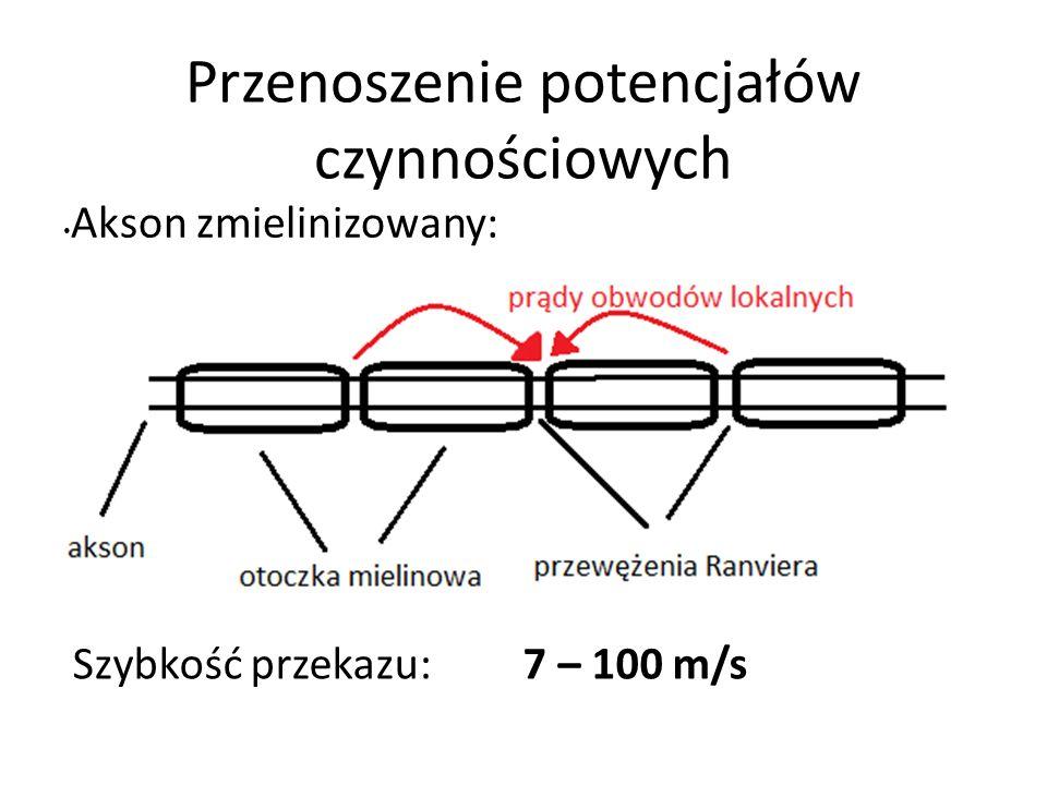Przenoszenie potencjałów czynnościowych Akson zmielinizowany: Szybkość przekazu: 7 – 100 m/s