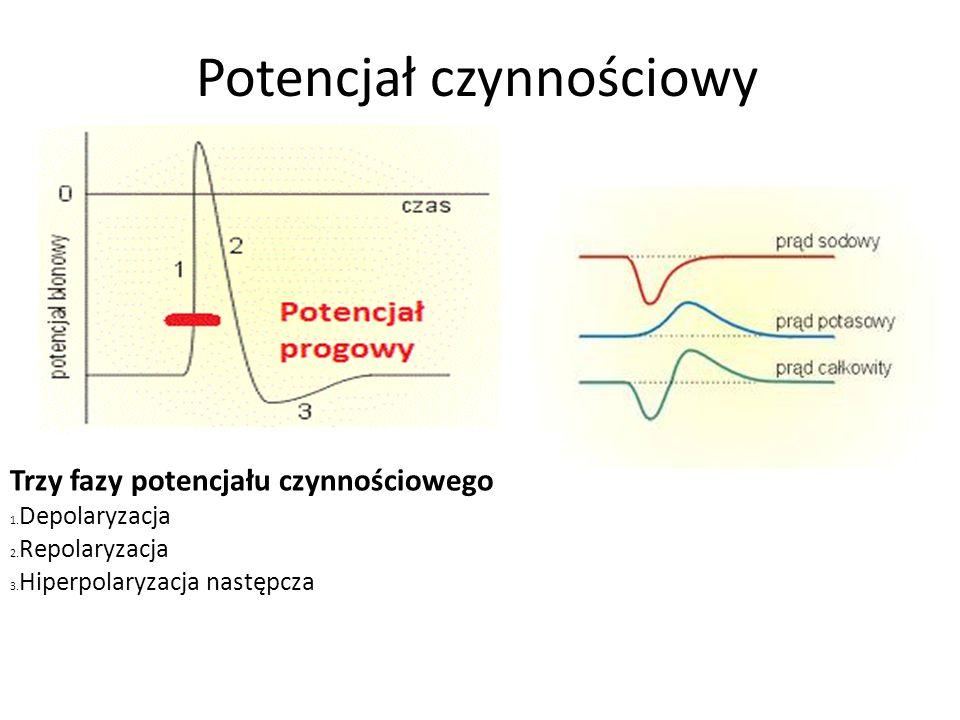 Potencjał czynnościowy Trzy fazy potencjału czynnościowego 1.