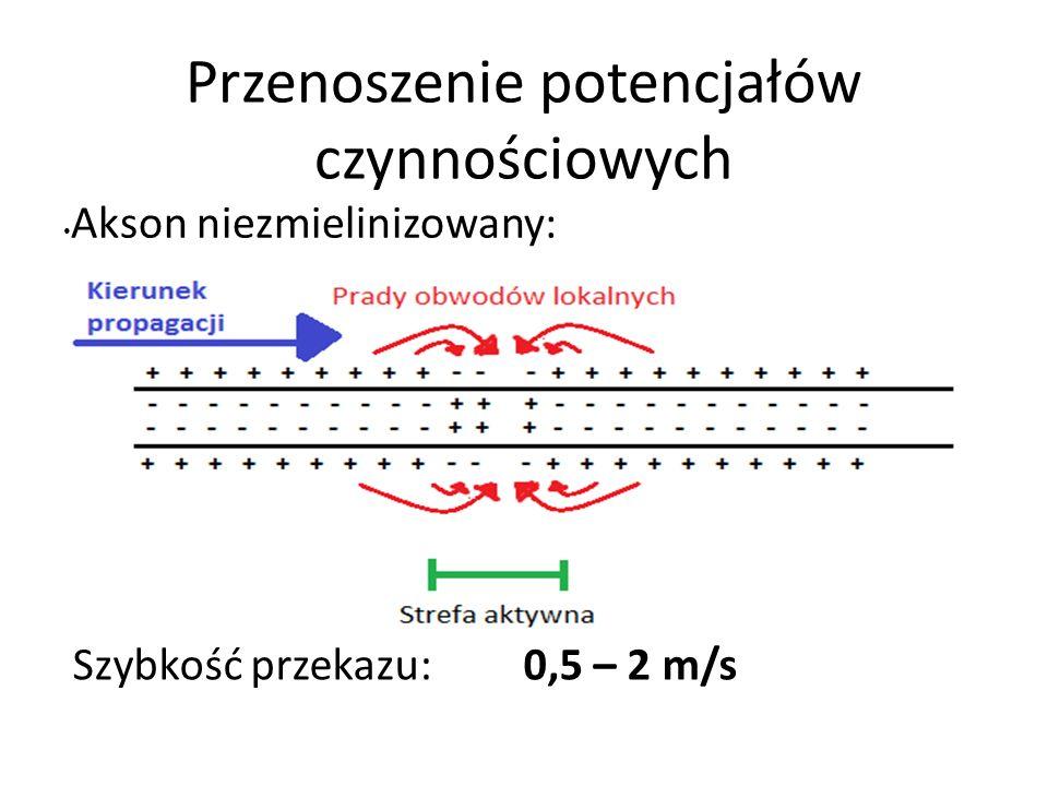 Przenoszenie potencjałów czynnościowych Akson niezmielinizowany: Szybkość przekazu: 0,5 – 2 m/s