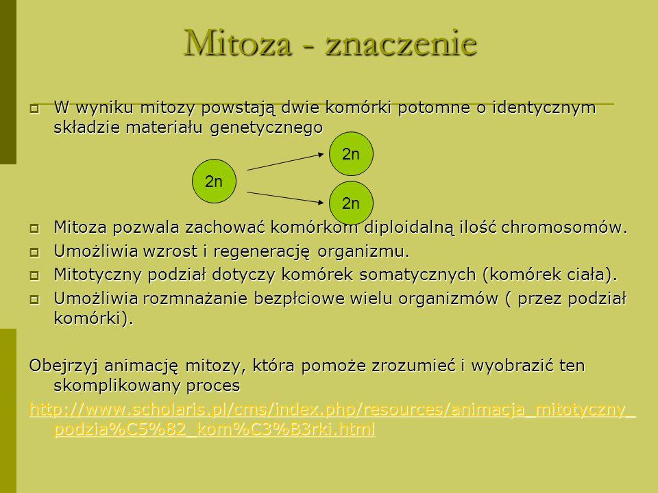 Mitoza –opis przebiegu PROFAZA- krótka, - chromosomy dzielą się na dwie chromatydy METAFAZA- chromosomy podzielone na dwie chromatydy ustawiają się w płaszczyźnie równikowej wrzeciona kariokinetycznego ANAFAZA- w wyniku kurczenia się włókien wrzeciona kariokinetycznego do biegunów komórki rozchodzą się chromatydy TELOFAZA- chromatydy osiągają biegun komórki, - powstają dwa jądra potomne o diploidalnej liczbie chromosomów, - zachodzi cytokineza, - powstają dwie komórki potomne