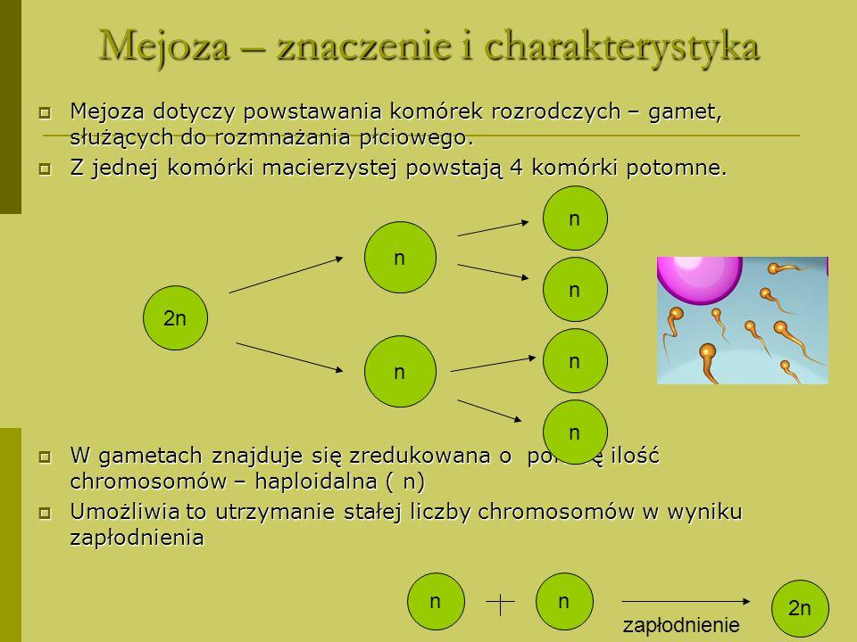 Mejoza – I podział ( redukcyjny) koniugacja chromosomów homologicznych pary chromosomów homologicznych podzielonych na cztery chromatydy) ustawiają się w płaszczyźnie równikowej wrzeciona kariokinetycznego do biegunów komórki rozchodzą się, w wyniku kurczenia się włókien wrzeciona kariokinetycznego, całe chromosomy chromosomy osiągają biegun komórki, - powstają dwa jądra potomne o haploidalnej liczbie chromosomów, - nie zachodzi cytokineza