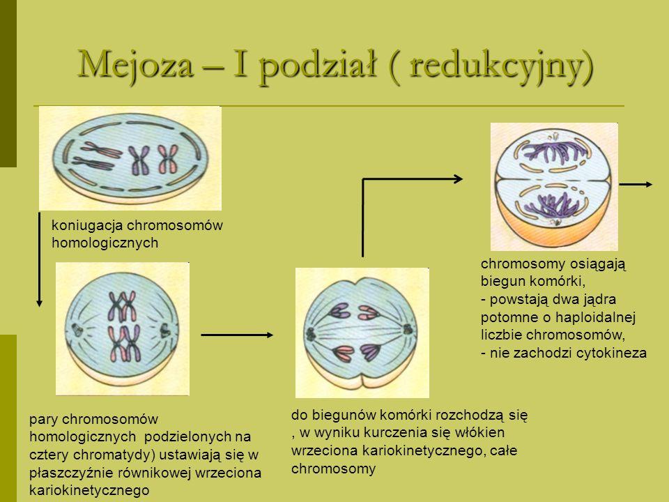 Mejoza - II podział chromosomy dzielą się na dwie chromatydy chromosomy podzielone na dwie chromatydy ustawiają się w płaszczyźnie równikowej wrzeciona kariokinetycznego do biegunów komórki rozchodzą się chromatydy, w wyniku kurczenia się włókien wrzeciona kariokinetycznego chromatydy osiągają biegun komórki, - powstają dwa jądra potomne o diploidalnej liczbie chromosomów, - zachodzi cytokineza, - powstają dwie komórki potomne,