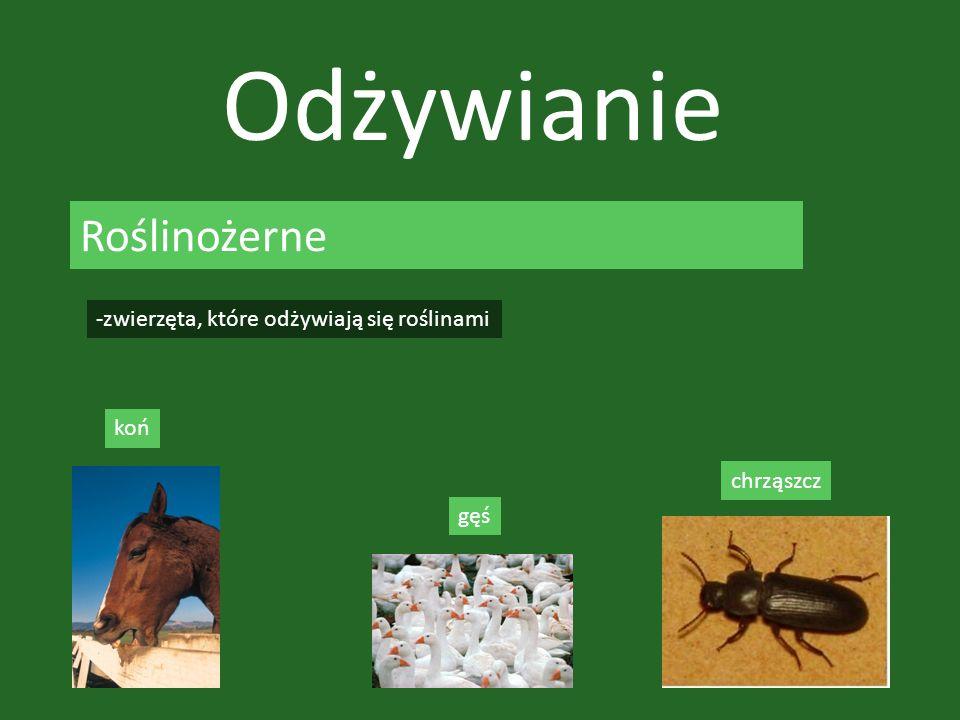 Odżywianie Roślinożerne -zwierzęta, które odżywiają się roślinami koń gęś chrząszcz