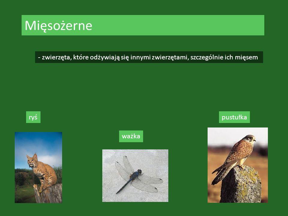 Mięsożerne - zwierzęta, które odżywiają się innymi zwierzętami, szczególnie ich mięsem ryś ważka pustułka