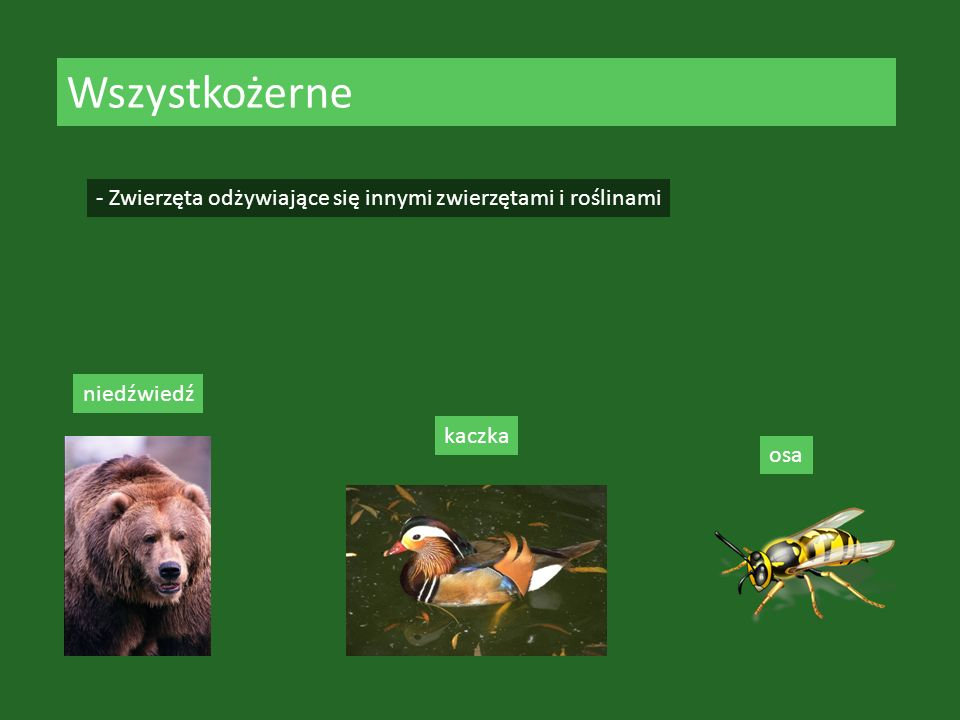 Wszystkożerne - Zwierzęta odżywiające się innymi zwierzętami i roślinami niedźwiedź kaczka osa