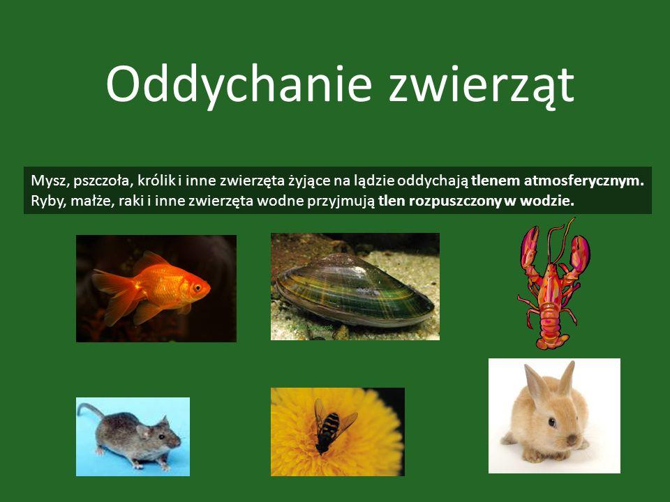 Oddychanie zwierząt Mysz, pszczoła, królik i inne zwierzęta żyjące na lądzie oddychają tlenem atmosferycznym.