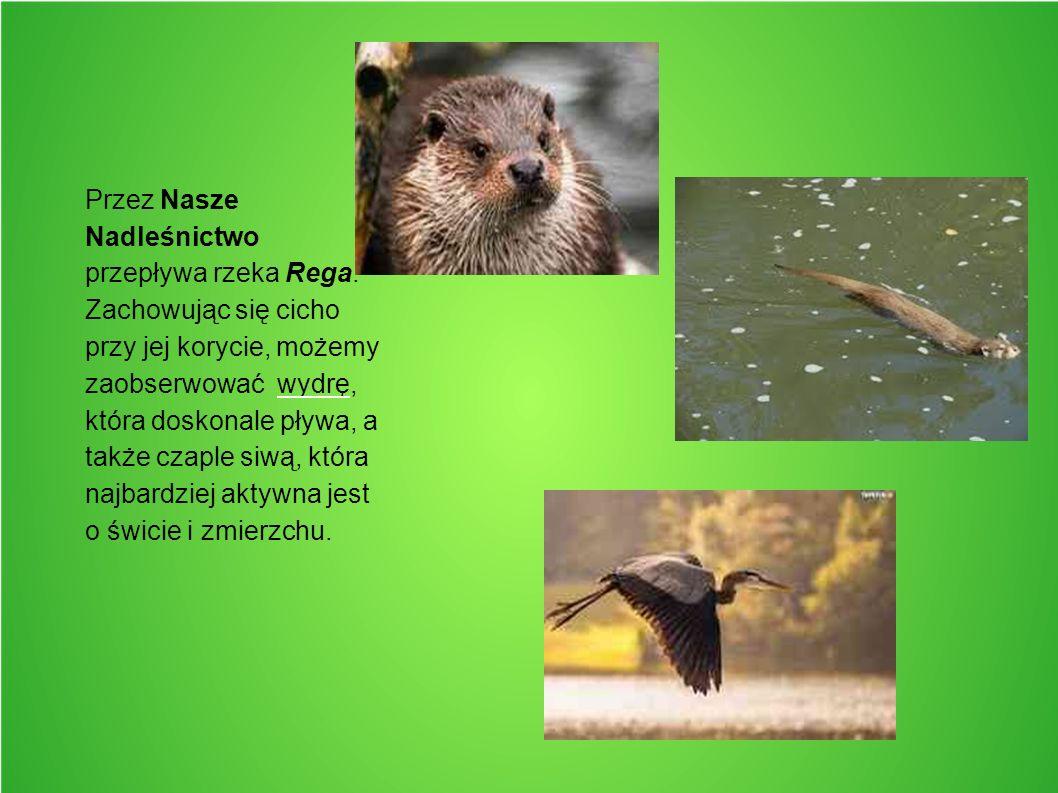 Przez Nasze Nadleśnictwo przepływa rzeka Rega. Zachowując się cicho przy jej korycie, możemy zaobserwować wydrę, która doskonale pływa, a także czaple