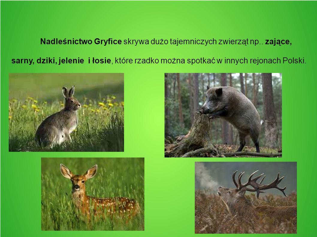 Nadleśnictwo Gryfice skrywa dużo tajemniczych zwierząt np.. zające, sarny, dziki, jelenie i łosie, które rzadko można spotkać w innych rejonach Polski
