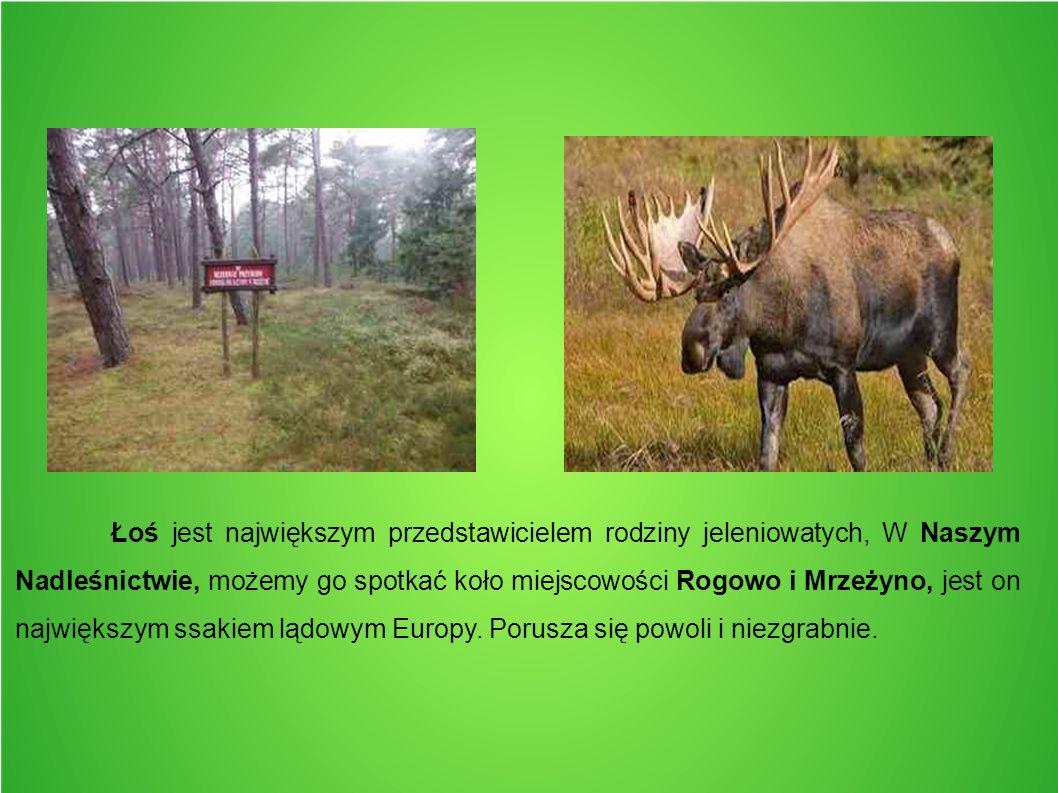 Łoś jest największym przedstawicielem rodziny jeleniowatych, W Naszym Nadleśnictwie, możemy go spotkać koło miejscowości Rogowo i Mrzeżyno, jest on na