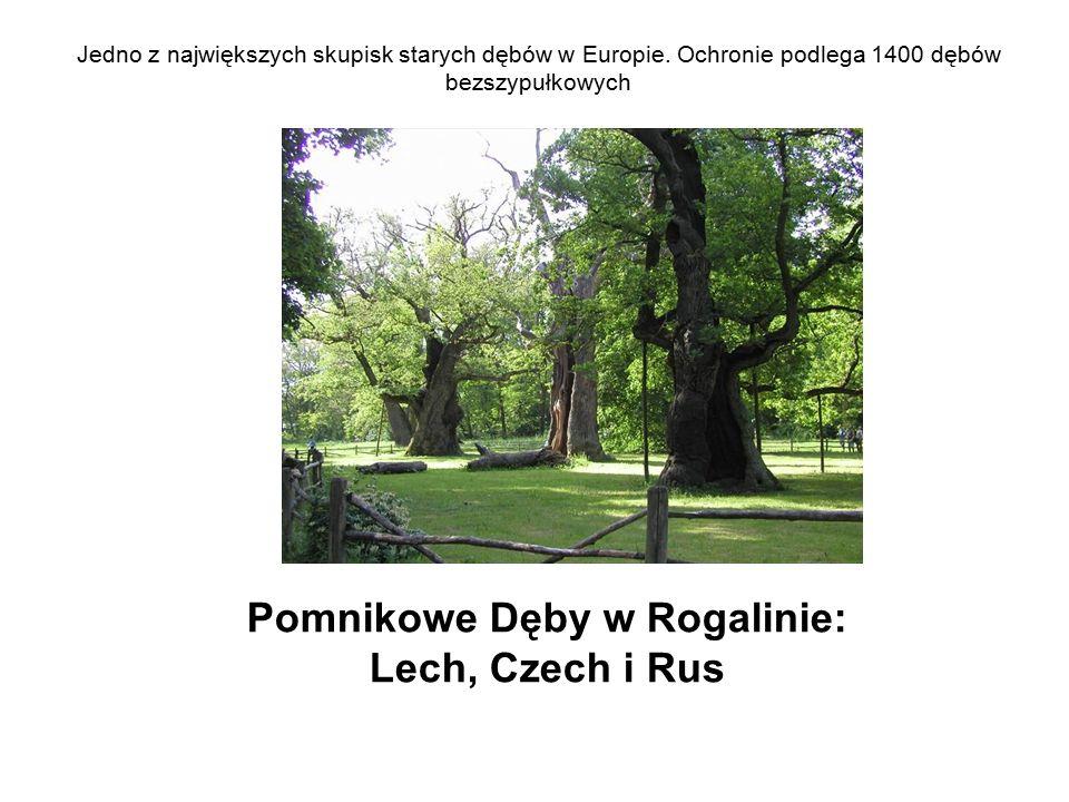 Jedno z największych skupisk starych dębów w Europie. Ochronie podlega 1400 dębów bezszypułkowych Pomnikowe Dęby w Rogalinie: Lech, Czech i Rus