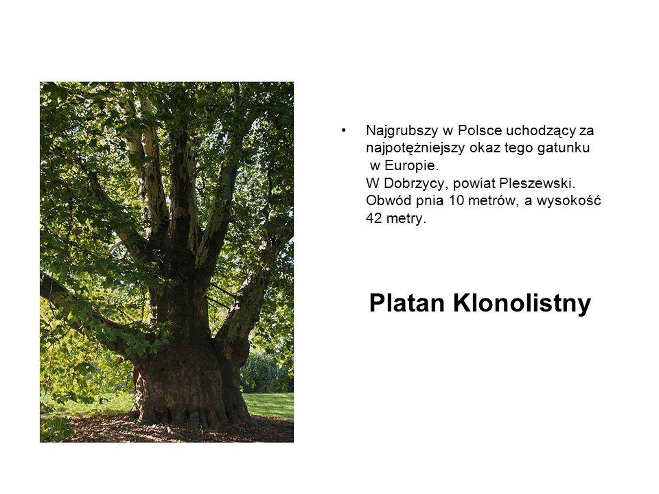 Najgrubszy w Polsce uchodzący za najpotężniejszy okaz tego gatunku w Europie. W Dobrzycy, powiat Pleszewski. Obwód pnia 10 metrów, a wysokość 42 metry