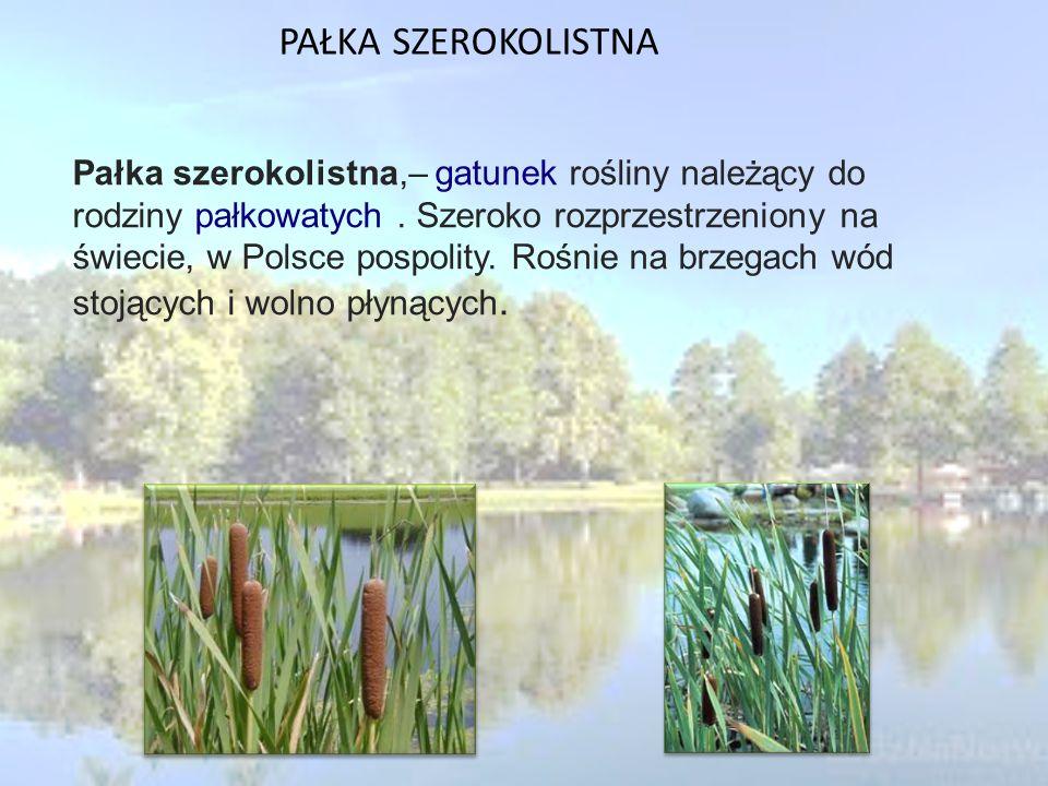 PAŁKA SZEROKOLISTNA Pałka szerokolistna,– gatunek rośliny należący do rodziny pałkowatych.