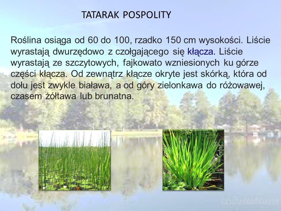 TATARAK POSPOLITY Roślina osiąga od 60 do 100, rzadko 150 cm wysokości.