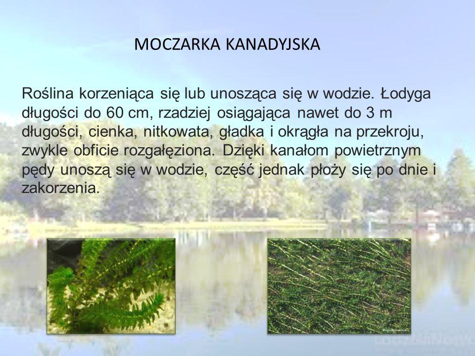 MOCZARKA KANADYJSKA Roślina korzeniąca się lub unosząca się w wodzie.
