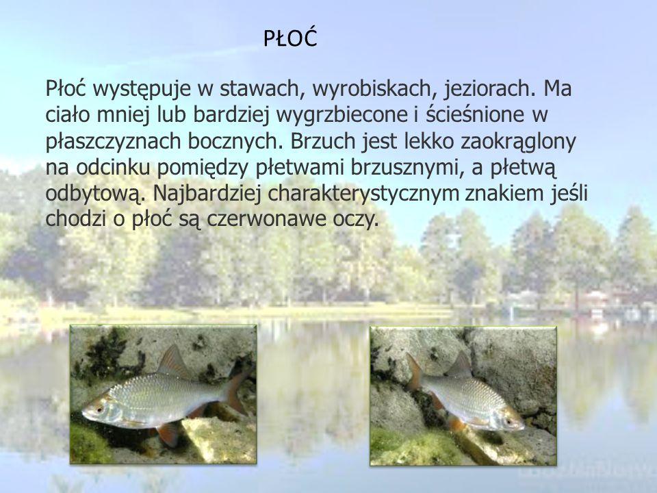 KACZKA KRZYŻÓWKA Krzyżówka występuje praktyczne na terenie całej Europy i nie tylko. Gniazda buduje przede wszystkim w trawie. Samiec w szacie godowej