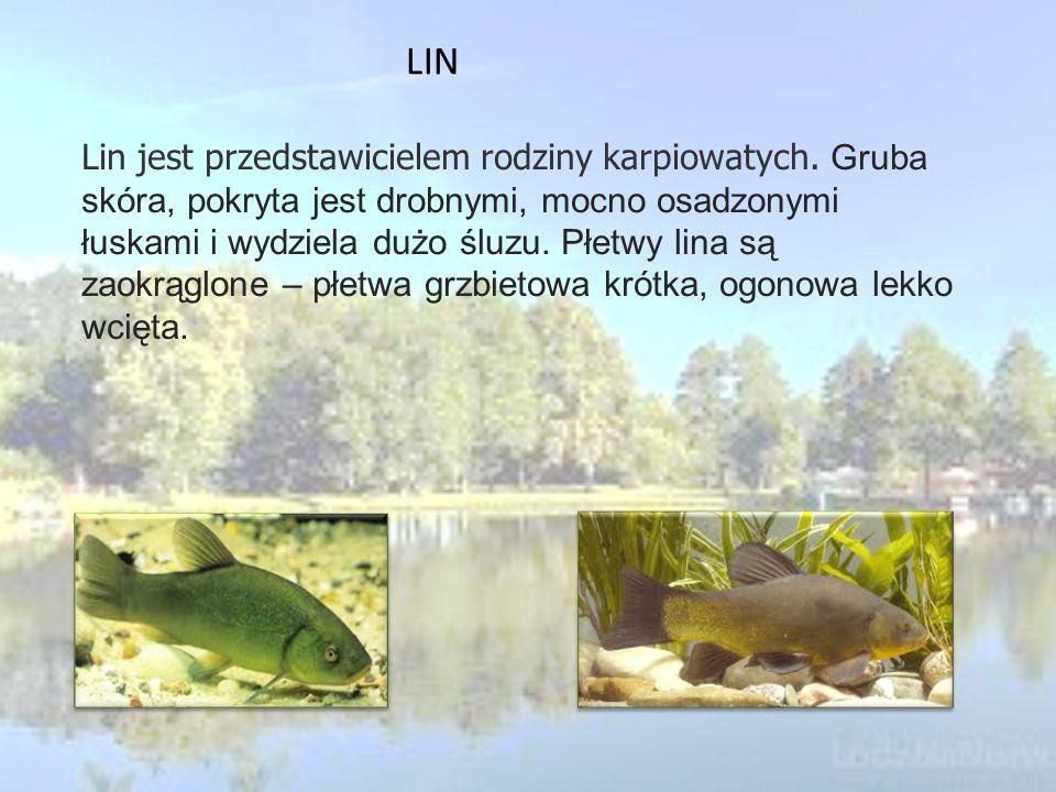 Lin jest przedstawicielem rodziny karpiowatych.