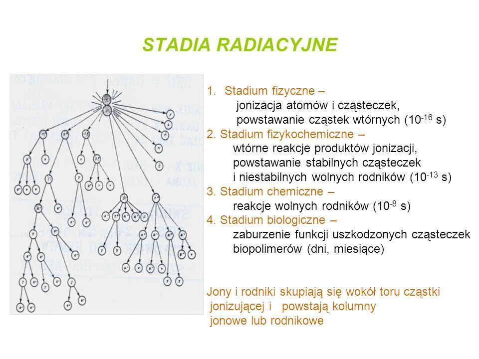 STADIA RADIACYJNE 1.Stadium fizyczne – jonizacja atomów i cząsteczek, powstawanie cząstek wtórnych (10 -16 s) 2. Stadium fizykochemiczne – wtórne reak