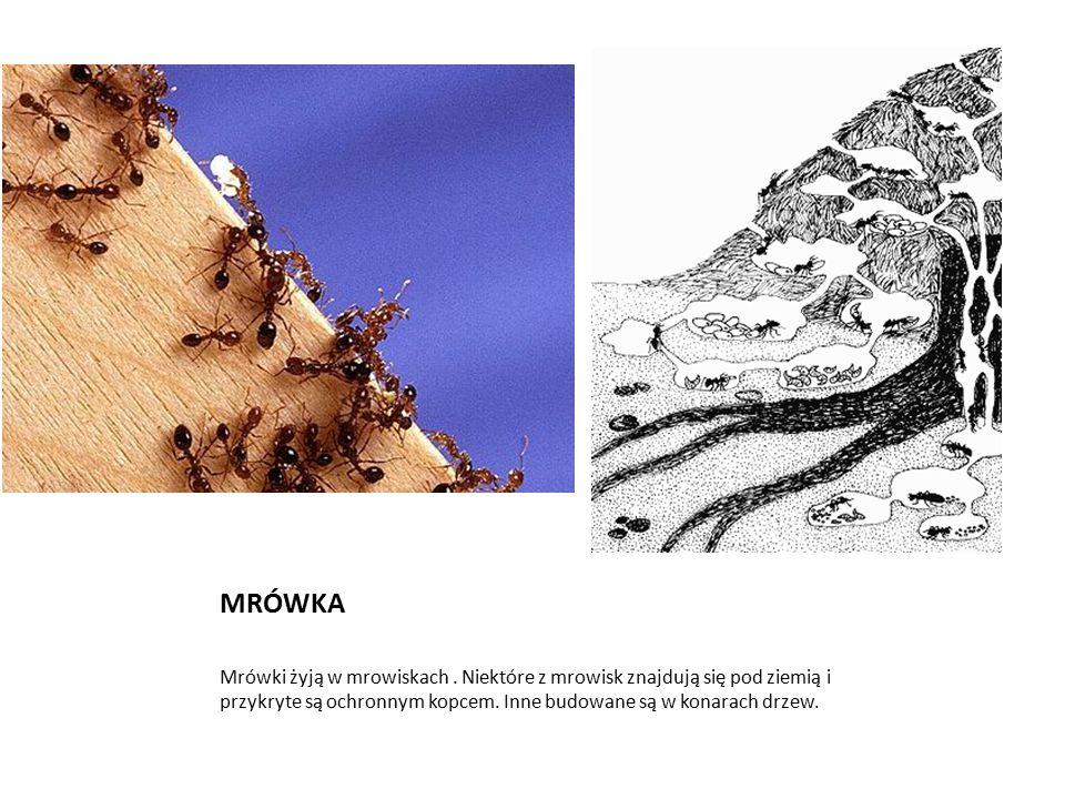 MRÓWKA Mrówki żyją w mrowiskach. Niektóre z mrowisk znajdują się pod ziemią i przykryte są ochronnym kopcem. Inne budowane są w konarach drzew.