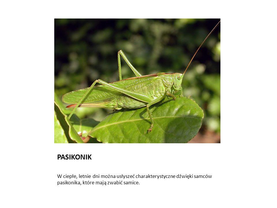 PASIKONIK W ciepłe, letnie dni można usłyszeć charakterystyczne dźwięki samców pasikonika, które mają zwabić samice.
