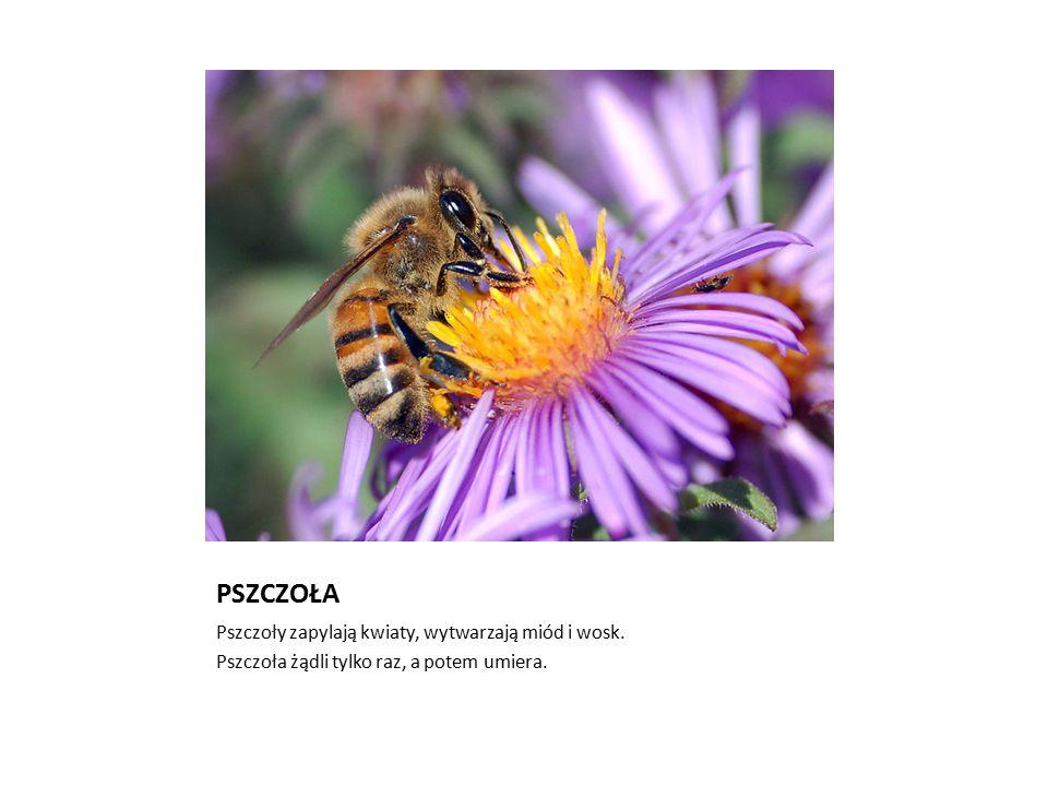 PSZCZOŁA Pszczoły zapylają kwiaty, wytwarzają miód i wosk. Pszczoła żądli tylko raz, a potem umiera.